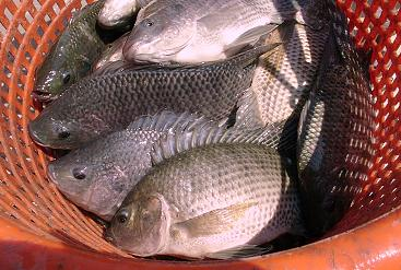 ND 41 All-Male Tilapia hybrids, without hormonal treatment - The key for Tilapia in colder subtropical and temperate regions.